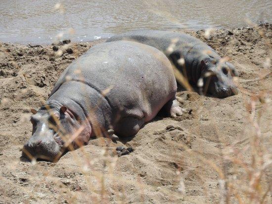 Mara Triangle: Hippos