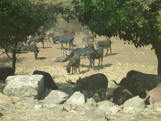 Korcula Island, โครเอเชีย: ぶどうを運ぶロバさん達