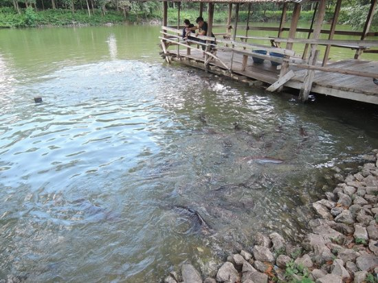 Nong Khai, Thailand: มีสระน้ำไว้ให้อาหารปลาด้วย เป็นปลายสวายขนาดใหญ่และปลาอื่น ๆ