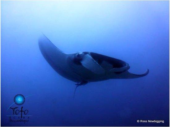 Tofo, Mozambik: Giant Manta Ray