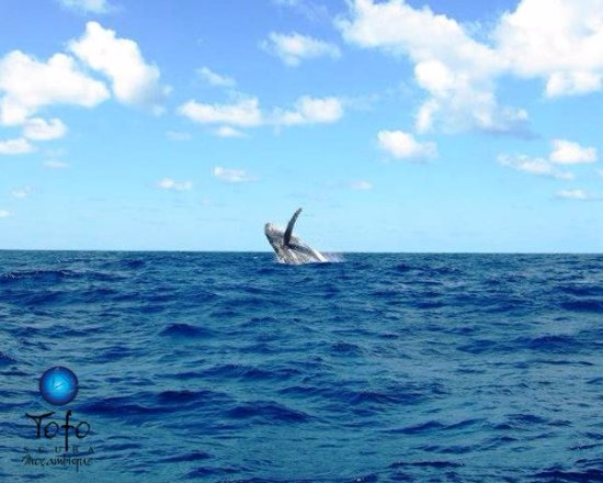 Tofo, Mozambik: Humpback Whales in the bay, seen from the shop!