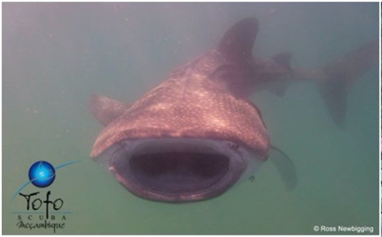 Tofo, Mozambik: Whale Shark on Ocean Safari snorkelling trip