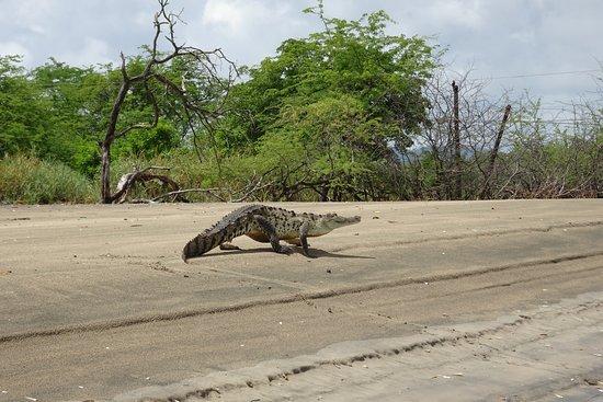 Hotel La Laguna del cocodrilo: Krokodil am anderen Ufer der Flussmündung
