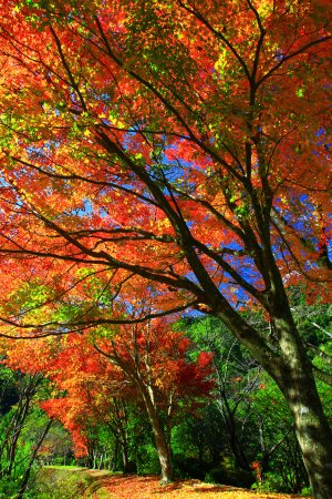 Aoidake Onsen Aoidakeso: 温泉入口付近の紅葉。12月のはじめ頃まで紅葉が楽しめます。