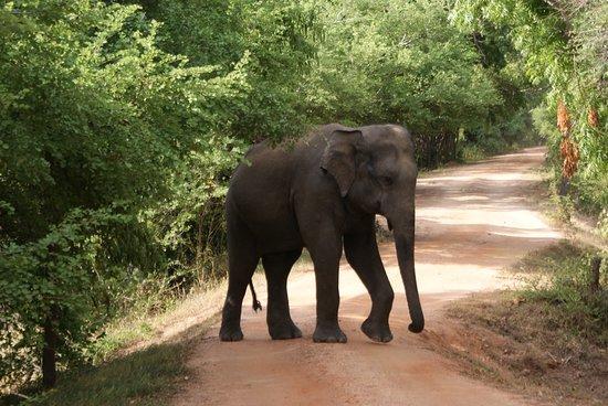 Habarana, Sri Lanka: Safari imprescindible si visitas Sri Lanka