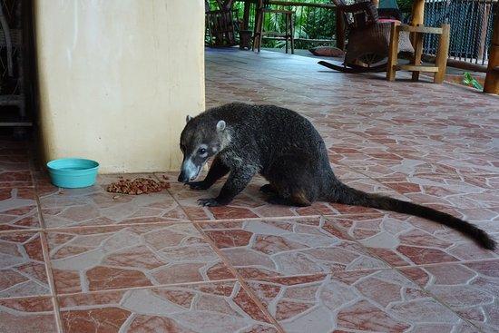 Villa Mango: Jordi, der Nasenbär
