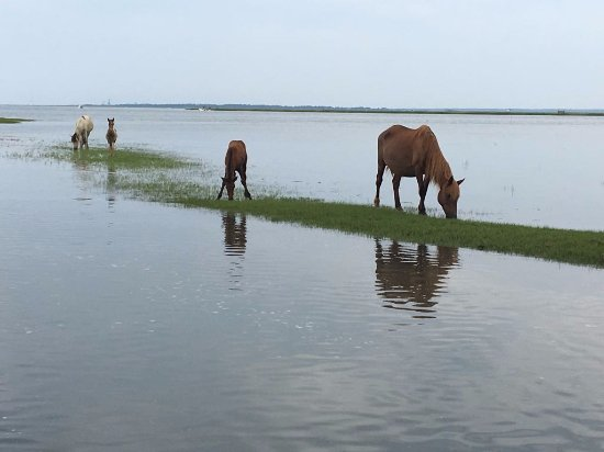 Daisey's Island Cruises: just a very few of the horses from our vantage point on the boat