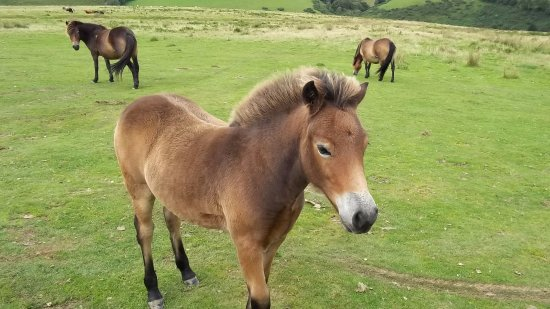 Exmoor National Park, UK: exmoor ponies and foals