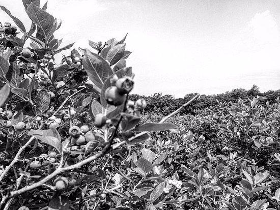 Gold Barn Blueberries
