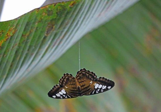 Someren, Nederland: Hier hangt dan een dode vlinder aan een stofdraad. Helaas hij was mooi maar niet op deze manier.