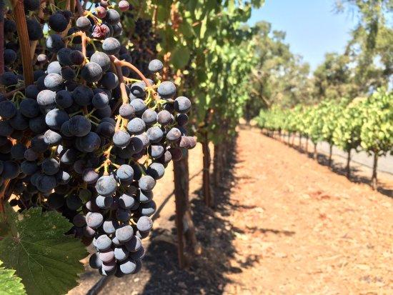 Healdsburg, CA: Malbec grapes