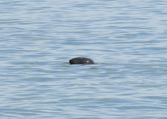 Coast Guard Beach: One of the many grey-eyed seals we that came in with the tide!