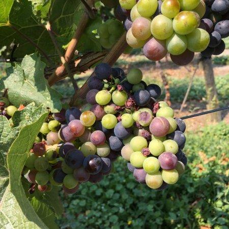 Penticton, Kanada: The grapes!