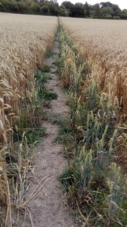 Wye, UK: Walk through the wheat fields towards the downs.