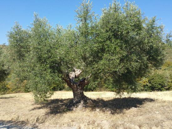 Tavernelle di Panicale, Italy: fabulous old olive trees all over the property