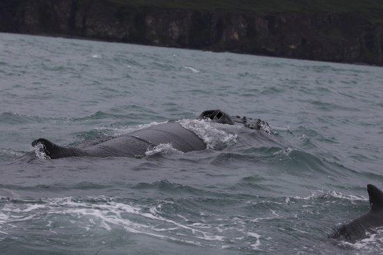 Husavik, أيسلندا: blowhole of a humpback
