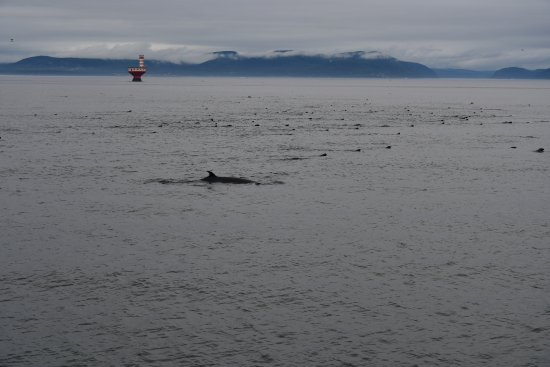 Tadoussac, Canada : A whale swimming with seals. The weather was chilly and windy.