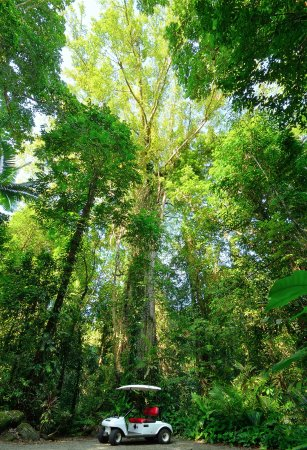 Misty Mountains Tropical Rainforest Retreat: Ancient Grand Fig Tree