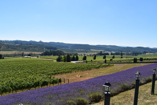 King Estate Winery: Lavender fields around the vineyards