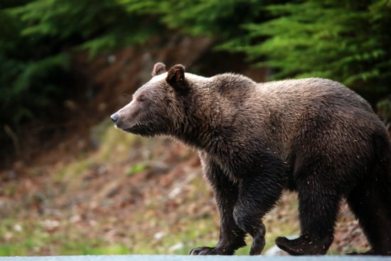 Chilkoot Haven: Brown bear heading toward the river.
