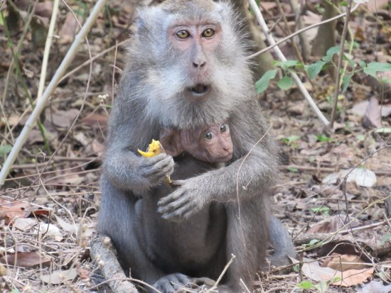 Bali, Indonesia: long tail macaque {grey mongkey} with baby