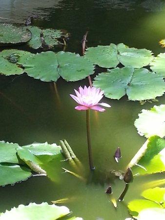 Dambulla, Sri Lanka: Blue lilley Knowing as a Sri Lanka National flower