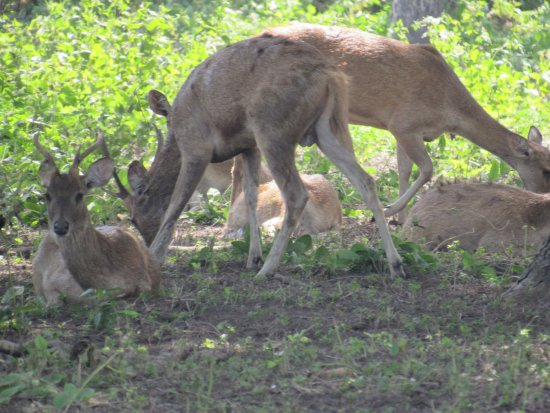 West Bali National Park, Ινδονησία: deer wildlife feeding the grass