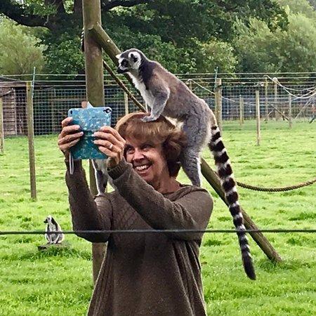 The Lake District Wildlife Park: A ring-tailed lemur enjoying a doing selfie