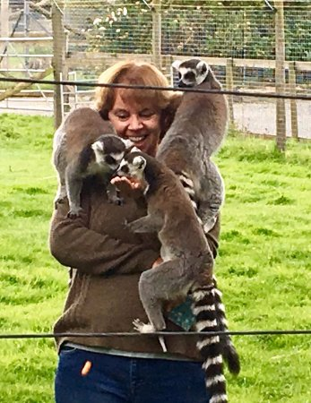 The Lake District Wildlife Park: Ring-tailed Lemurs enjoying being fed and a cuddle