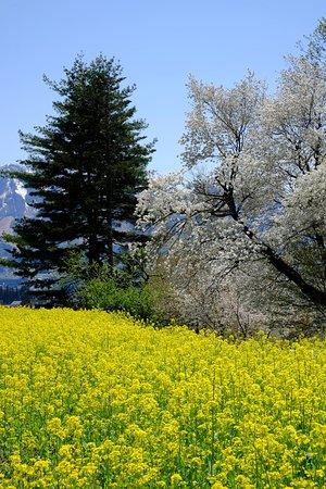 Nanohana Park: 桜もかろうじて残っていて、菜の花の黄色に映えます