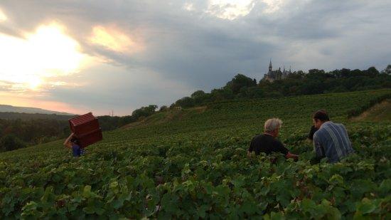 Épernay, Frankrike: Harvesting