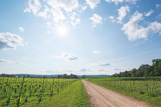 Hatfield, MA : vineyard view