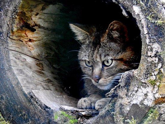 Gatto Selvatico In Fase Attacco Foto Di Parco Faunistico Di