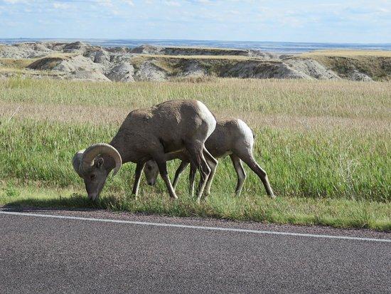 Interior, SD: Bighorn Sheep in Badlands National Park.