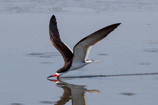 Stone Harbor, NJ: Black Skimmer skimming
