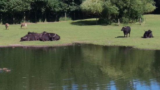 Givskud Zoo: Bøfler