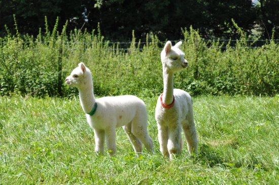 Alpaka Weilachmuehle: Alpaka Kids 2017