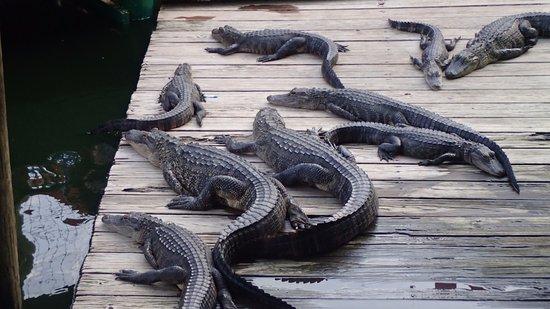 Fudpucker's Beachside Bar & Grill: Real Live Gators!!