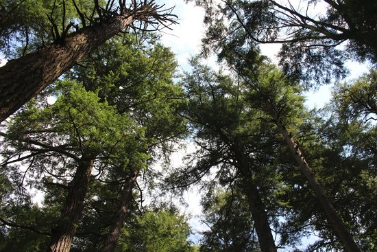 Salt Springs State Park: Looking up into the hemlock trees.