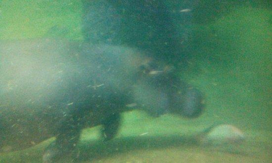 Wroclaw Zoo & Afrykarium: Hipopotam pod wodą