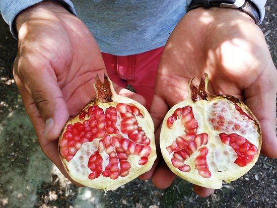 29 Palms Inn: Freshly picked pomegranates from our Faultline Farm