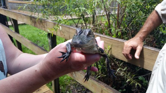 """Tigertail Airboat Tours: Close encounter with a true """"dinosaur""""."""
