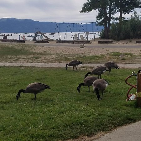 Tahoe Sands Resort: This is the distance from room 118 to the beach, and the geese love it here...