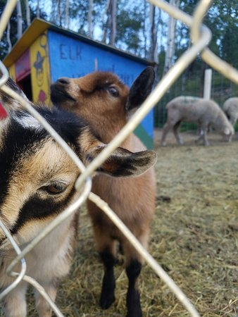 Elk Mountain Ranch: Biscuit & Gravy - Petting zoo!