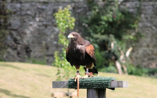 Invergordon Shore Excursions and Tours: Falconry at Dunrobin Castle