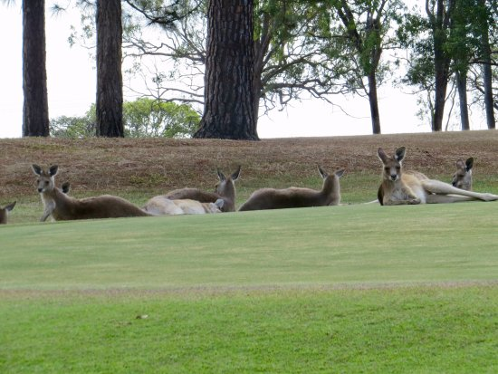 Mareeba, Australia: Kangaroos lounging on the green