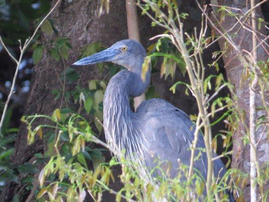 Daintree, Australia: Great-billed Heron