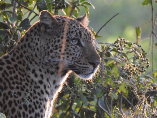 Luangwa River Camp: A beautiful leopard...and we have so many fantastic photos it's impossible to choose.