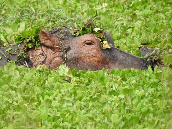 Luangwa River Camp: Hippo