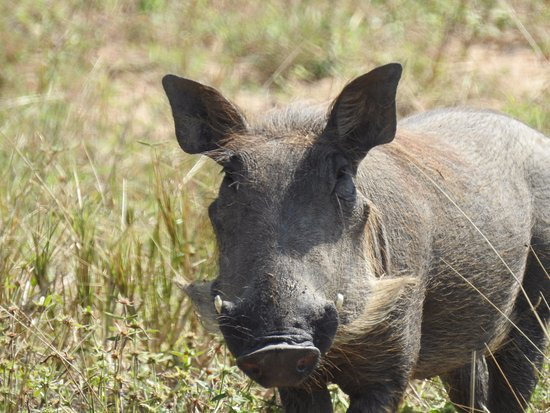 Luangwa River Camp: Warthog...one of the ugly five.